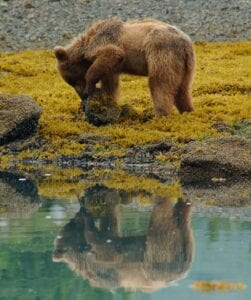brown bear, wildlife, nature